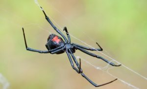 Mystery of however spider spiders produce steel-strength silk webs additional unravelled