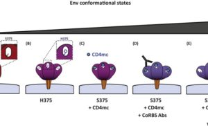 Impact of HIV-1 Envelope Conformation on ADCC Responses