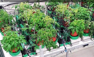 News Update on Tomato Genotypes Research: July – 2019