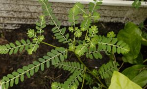 Latest Research on Phyllanthus Amarus Research: Sep – 2019