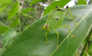 Latest Research on Orthoptera: Dec – 2019