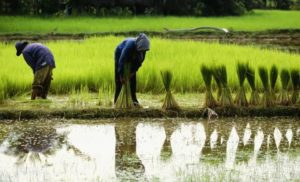 Latest Research News on Rice Farmers: Jan – 2020