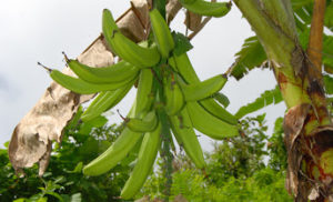 News Update on Banana Cultivars Research: Feb – 2020